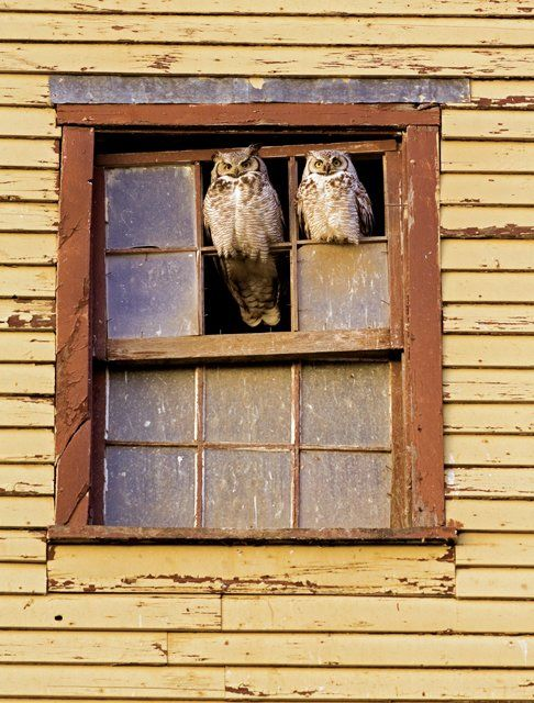 {perched great horned owls} winning photo by Peter A. Dettling, Alberta