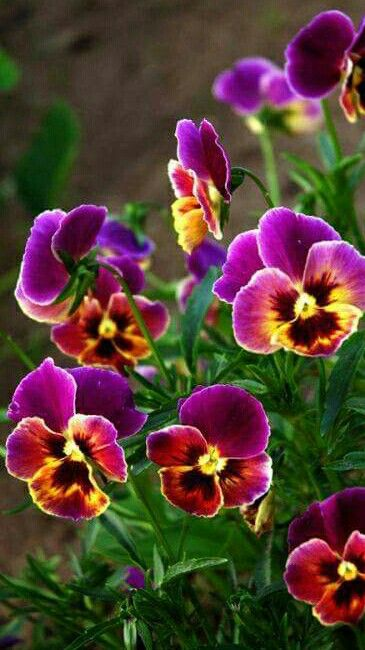 Love Pansies.