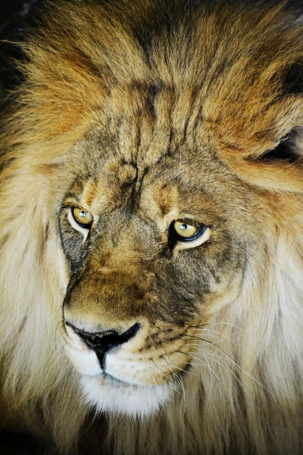 Lion at the Como Zoo