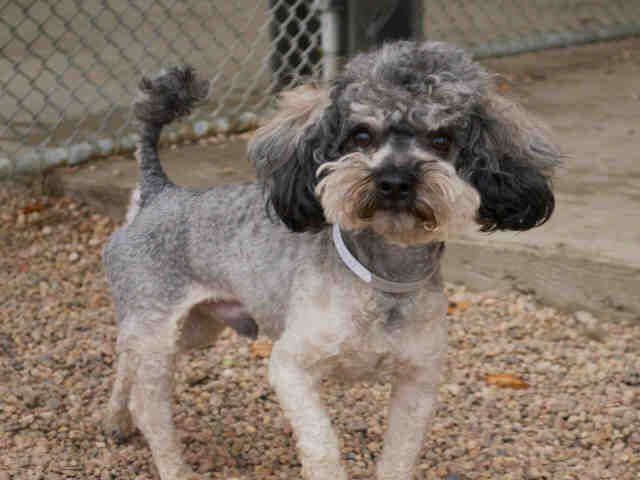 #COLORADO ~ Scout ID A213626 is a Neutered Miniature Poodle in need of a loving #adopter / #rescue at the DENVER ANIMAL SHELTER 1241 W Bayaud Ave #Denver CO 80223 Ph 720-337-1800