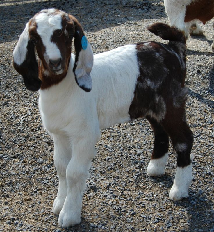 Funny Goat Pictures Animals | Rebel Ridge Funny Face - Polka Dot Boer Goat Doe