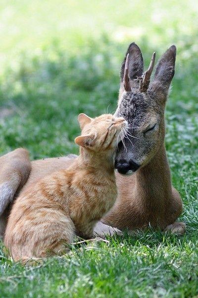 Cuddling between a cat and a doe | #love #loveanimals #cute #cute #deer #anima