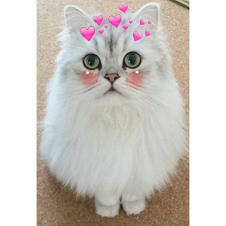 Trẫm Gia Rồi Ohnonono แมว แมวตลก ร ปส ตว น าร ก