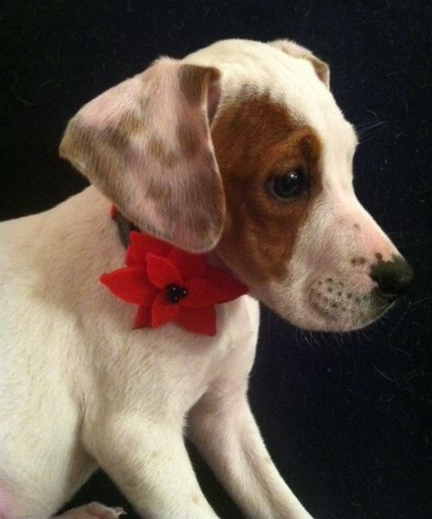 The Davinci Foundation for Animals RESCUE ACROSS THE NATION:MI Sm Litter-Cupid. This is Cupid. She is a 12 week old female Beagle/Boxer/Dalmation mix. She is dainty and sweet. She enjoys giving and receiving kisses!Last Day Dog Rescue.