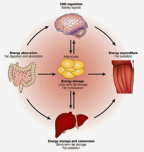 energy and a homeostasis b Here, we would like to present a current overview on the comparative endocrinology of energy homeostasis and its underlying neuroendocrinology with an emphasis on the insight this can give us into a) how and with what constraints energy homeostasis evolved and b) how ene.