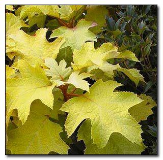 Hydrangea 'Little Honey' for its golden foliage.Oakleaf Hydrangeas