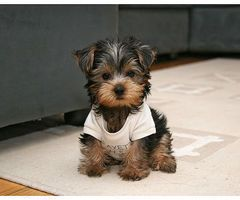 Yorkies are so cute!