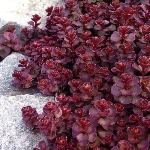 CRIMSON RED SEDUM Stonecrop Ground Cover Low Growing Spurium Coccineum 30 Seeds