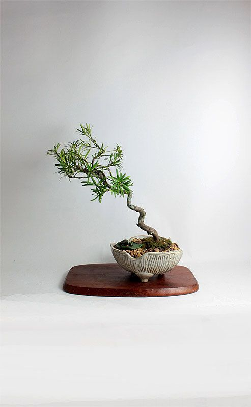 "Dwarf Pringles Podocarpus bonsai tree""Winter Conifer Collection"" by LiveBonsai Tree by LiveBonsaiTree on Etsy"