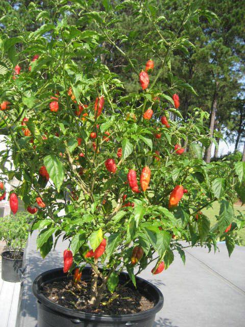 hot peppers - look like paper lanterns or something hotter like Naga
