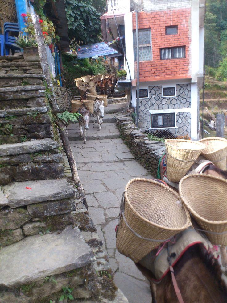 donkey caravan in Ghandruk #trekking #Gurung #village #Ghandruk #Ghandrung #hospital #travel