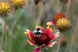Close, Hummel, Flower, Collect, Insect