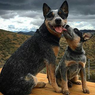 "And if you adopt 'em as a pup, they'll grow up to be just as beautiful. | 17 Photos Of Blue Heelers That Will Make You Say ""Honey, We Need A Dog"""