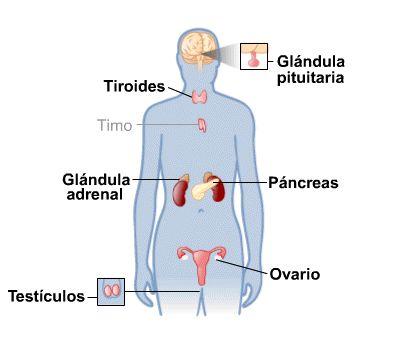 Resultado de imagen para sistema endocrino
