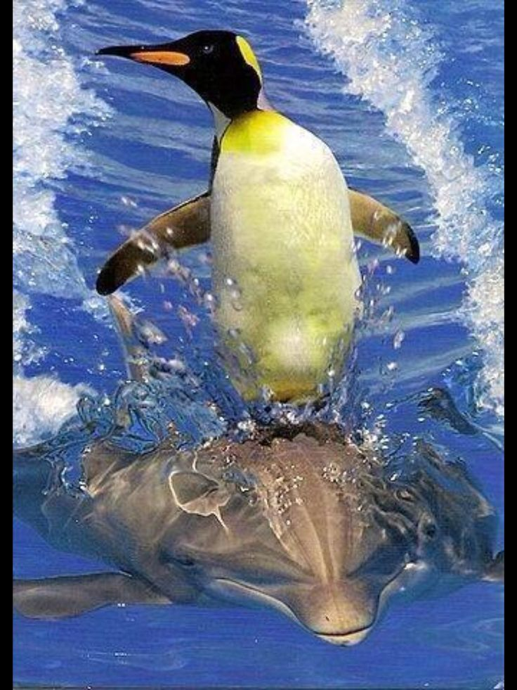 Penguin   on dolphin