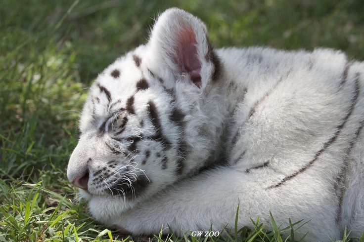 white tiger holding baby - photo #11