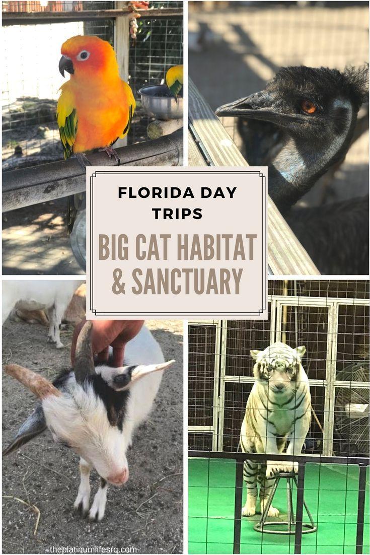 Florida Day Trips - Things to do in Sarasota - Big Cat Habitat Animal Sanctuary