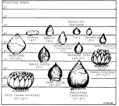 Bulb planting chart from Colorado State University Extension Office.  Always useful information on their website.