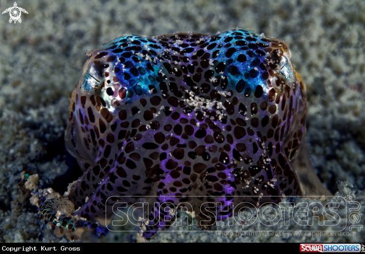 Bobtail squid  in Maluku Island - Indonesia