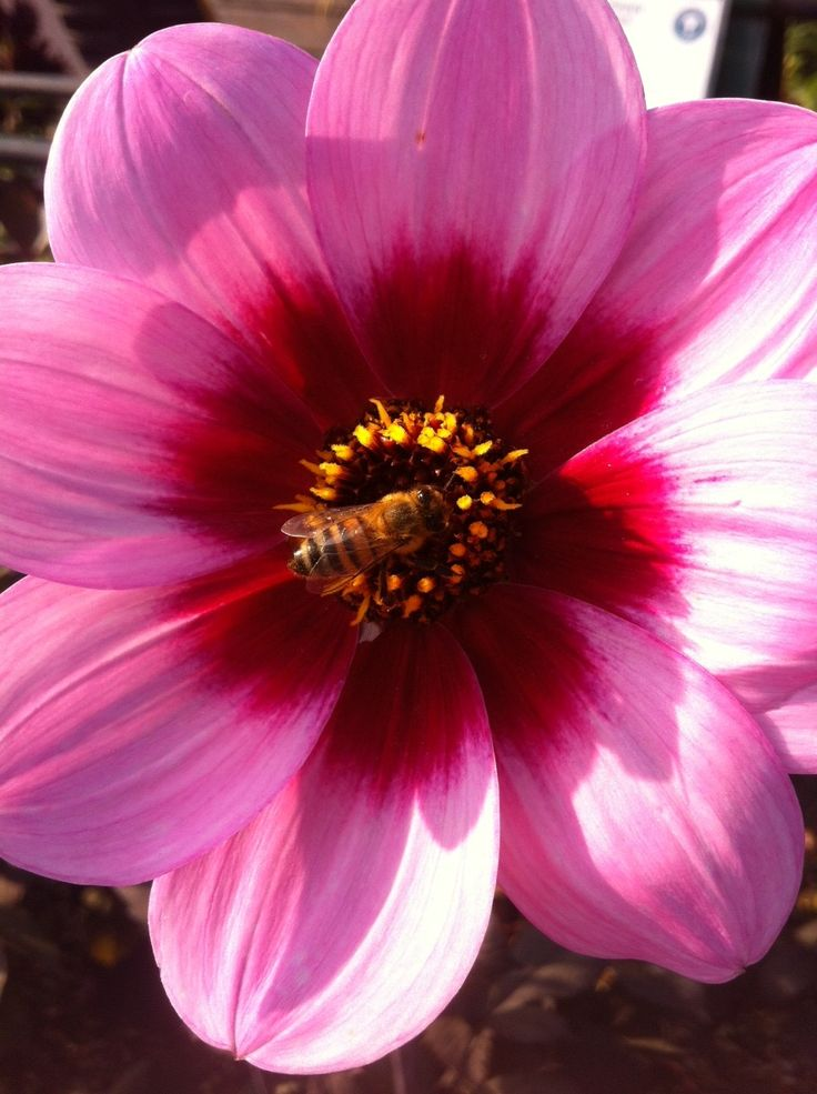 Perfect for pollinators, Dahlia 'happy single wink' with bee in place!