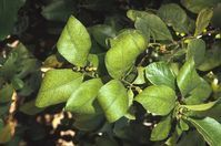 Citrus - Potassium deficiency