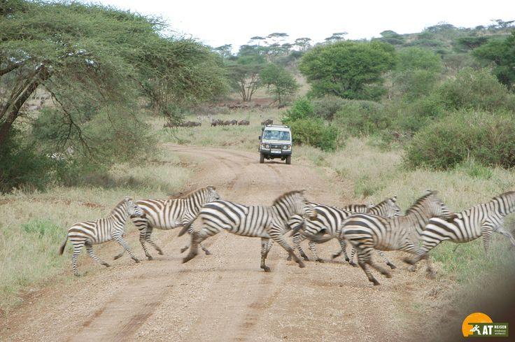 #Tansania #Safari #Zebra