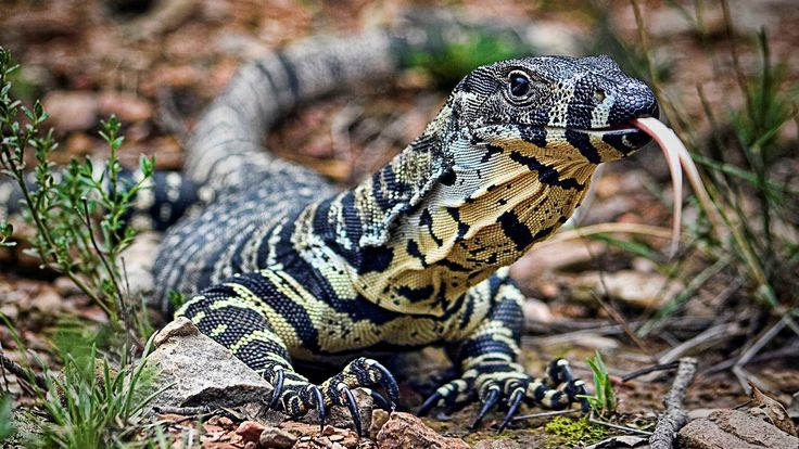 Lace Monitor HD Lizard Wallpapers Pinterest And