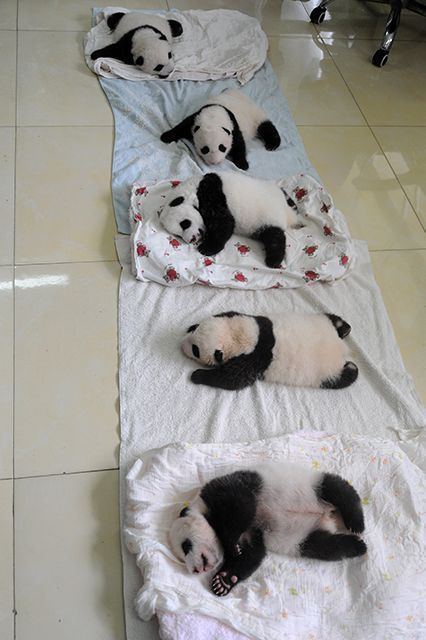 Here's a fun fact for your next baby panda party. A group of pandas, which is rare to see in the wild considering their solitary nature, is called an embarrassment. #refinery29 http://www.refinery29.com/2015/08/92786/baby-giant-panda-photos#slide-3