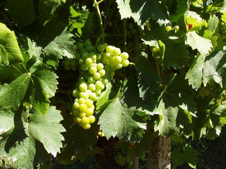 le uve moscato d'Asti