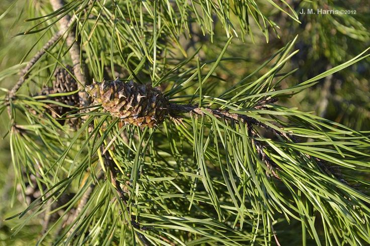 Loblolly Pines are large trees, growing up to 100 feet tall. Along with Eastern White Pine and Virginia Pine, it is one of our most common pine trees. The easiest way to tell them apart is to count the needles. Loblolly Pines have clusters of three needles, Virginia Pines have clusters of two, and Eastern White Pines have clusters of five.