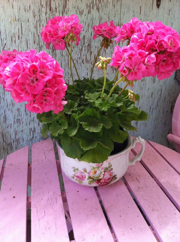 Gorgeous pink geraniums