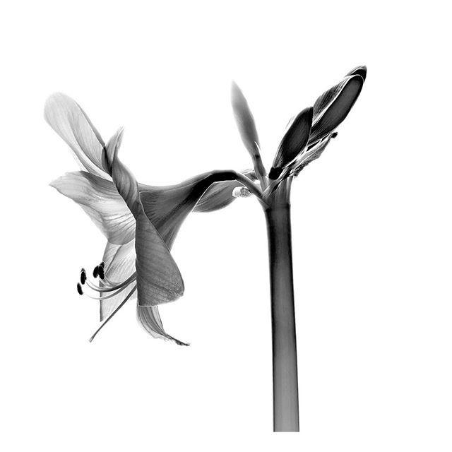 Amarilis flower in black and white #Nature #Flower #Kozzi - Dollar Stock Images - http://kozzi.tv/W6rIy