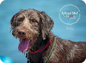 Freeport, NY - Labradoodle Mix. Meet Bailey, a dog for adoption…