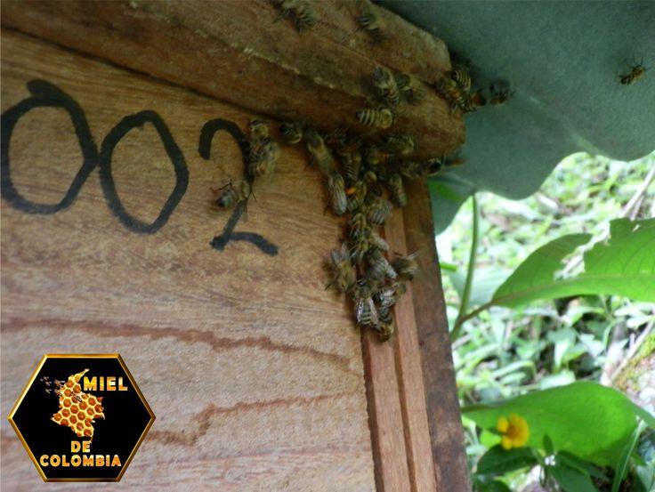Cómo elegir la ubicación de una colmena. Cosecha tu propia miel a través de la apicultura. Las colmenas prosperan en una amplia gama de lugares y climas. Elige el lugar adecuado para tus colmenas para mantener felices a tus abejas y que fluya la miel. Evita que tus abejas sean una molestia al seguir los consejos de los apicultores experimentados y las leyes de tu comunidad así como los reglamentos en materia de apicultura.
