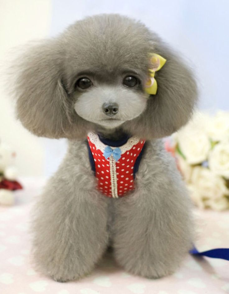 Japanese Trending Poodle Haircut