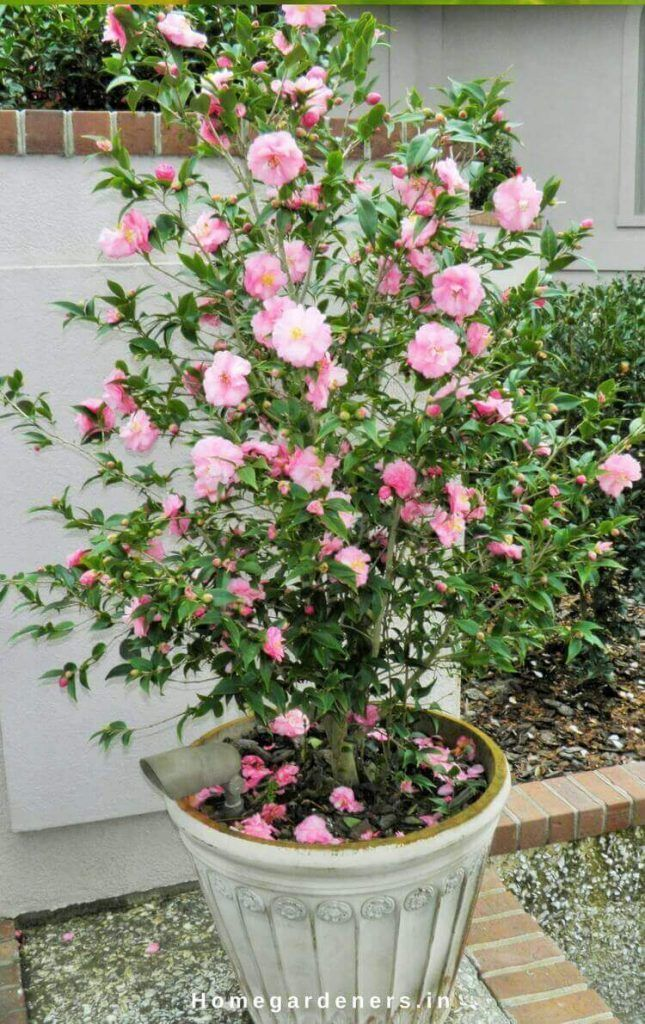Camellia Plant Care How Camellia Plants Are Making The Garden A Better Place Modern Design 2020 Cicek Beautiful