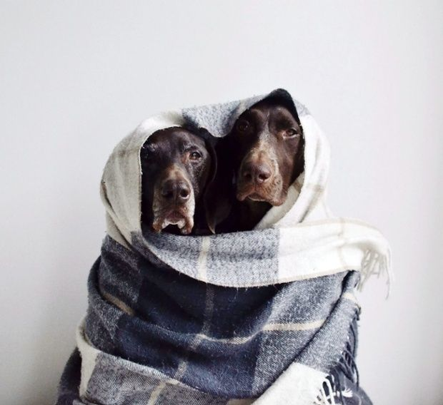 Dogs: Snuggles, Funnies Dogs, German Shorthair Pointer, Friends, Cutest Dogs, Dogs Funnies, Dogs Photography, Blankets, Little Puppys