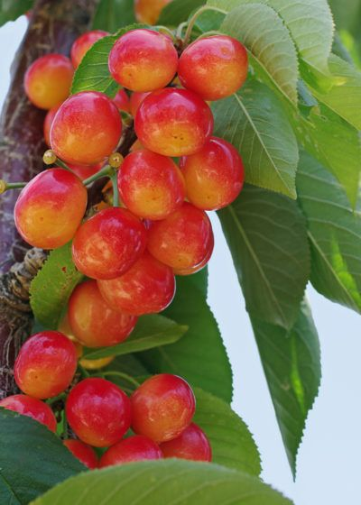 Zone 4 Cherry Trees: Choosing And Growing Cherries In Cold Climates - Everybody loves cherry trees, but gardeners in cooler climates might doubt that they can successfully grow cherries. Do hardy cherry tree varieties exist? Are there cherry trees that grow in zone 4? For tips on growing cherries in cold climates like this, click here.