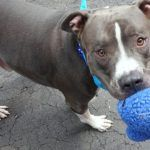 ***SUPER URGENT! 6/20/16 ~BLEU aka SPALDING  – A1063609  ***RETURNED 05/27/16, SAFER: AVERAGE HOME**  NEUTERED MALE, BLUE / WHITE, AMERICAN STAFF / AM PIT BULL TER, 2 yrs, 4 mos RETURNED – SUPER BEHAVIOR RATED: PROVEN FAMILY DOG, LIVED IN HARMONY W/ YOUNG KIDS. RETURNED DUE TO OWNER MOVE!