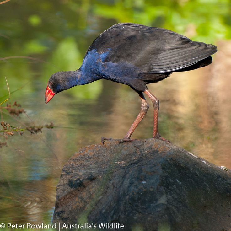 A #Purple #Swamphen contemplating a #big #jump from one rock to another #aus_wildlife