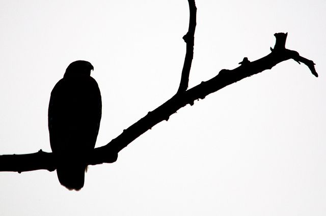 Red-shouldered Hawk Silhouette | Flickr - Photo Sharing!