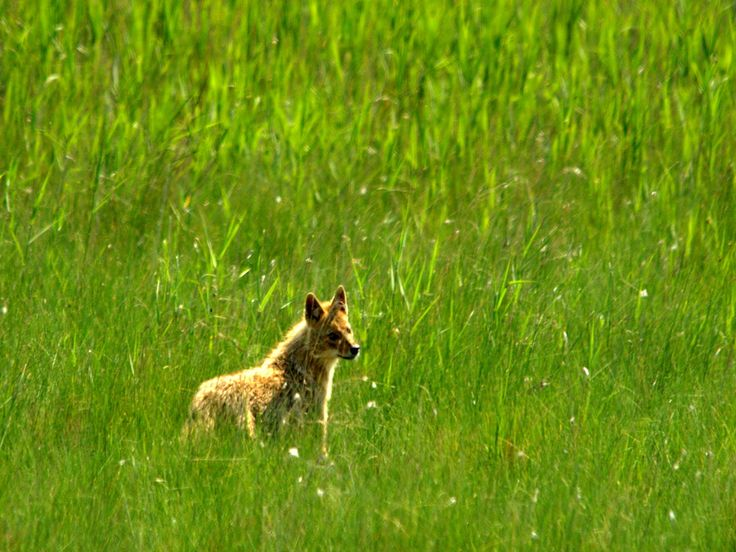 Sacalul (Canis aureus) | Danube Delta Birdwatching