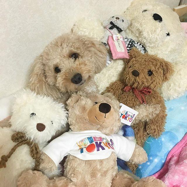 くまくまくままろんくまくまくま🐻❤️🐶 マロンどーこだ?💓 #トイプードル#愛犬#いぬ#犬#pecoいぬ部#pecodogs#かわいい#癒しわんこ#ふわもこ部#今日のわんこ#todayswanko#dog#poodles#toypoodle#dogstagram#poodlestagram#love#cute