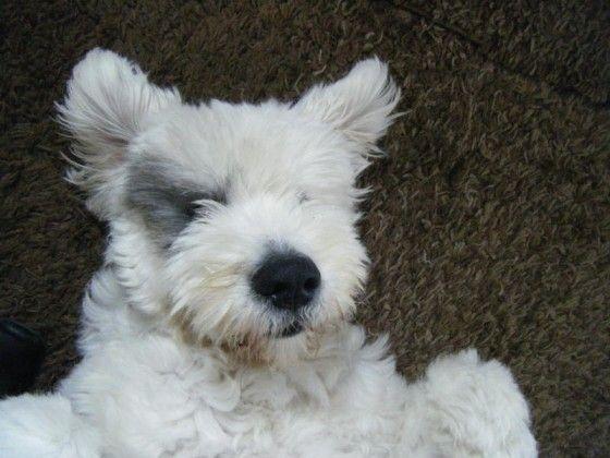 160 best Old English Sheepdog images on Pinterest | Cattle ...