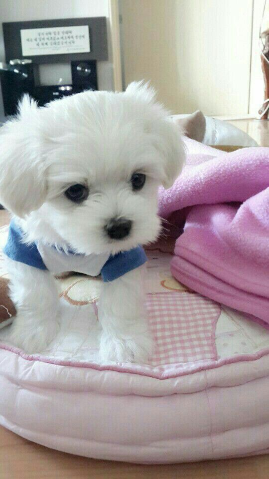 Pin By Kansas White On Animals Maltese Dogs Baby Dogs Dogs