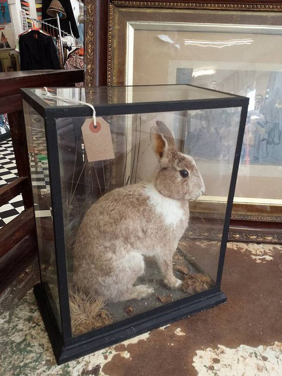 Check out this item in my Etsy shop https://www.etsy.com/uk/listing/247801496/taxidermy-rabbit-vintage-domestic