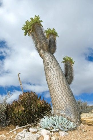The South African, succulent 'Halfmens' tree: legend has ... - photo#42