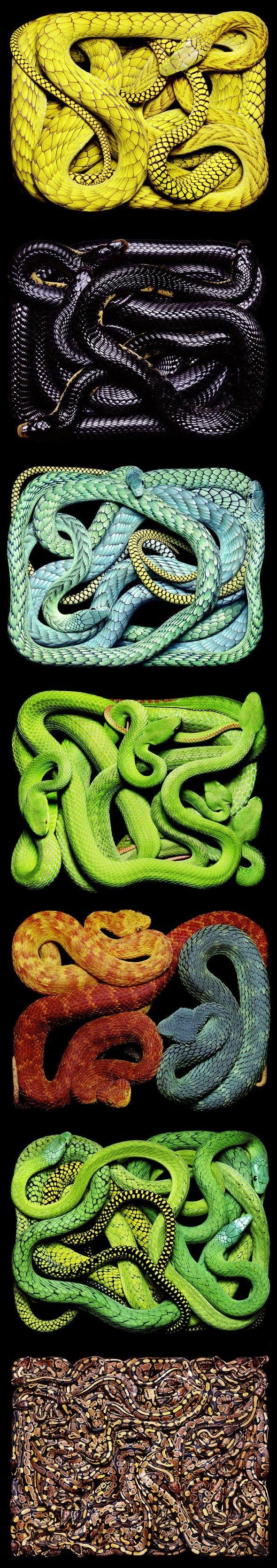 Série de serpents par Guido Mocafico Guido Mocafico est un artiste photographe. Il a réalisé des séries de photographies avec des serpents vivants, créant
