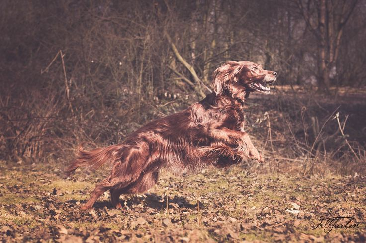 #Lilly#irishredsetter#irishsetter#dog#hund#red#redhair#setter#hund