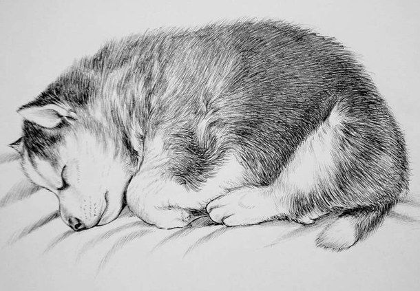 Baby Husky Coloring Pages Yahoo Image Search Results Dog Images Baby Huskies Husky